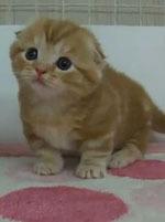 マンチカンのかわいい猫.JPG